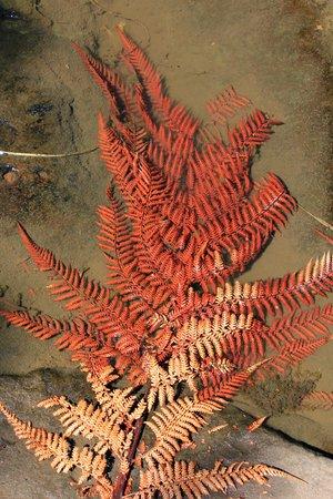 Fairy Falls: Red fern