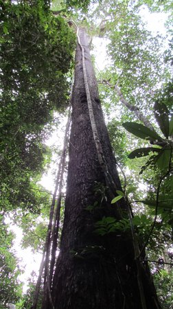 Refugio Amazonas: Looking up at the tall trees
