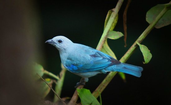 Hotel Cuna del Angel: Blue Tanager near beach