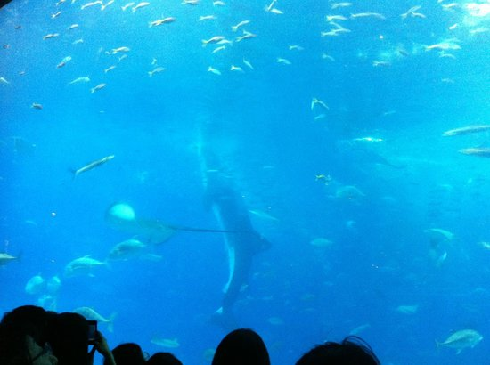 マンタ - Picture of Okinawa Churaumi Aquarium, Motobu-cho - TripAdvisor