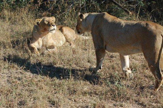 Serondella Game Lodge: Lionesses interact