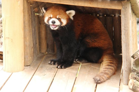 Granby, Canadá: Red Panda