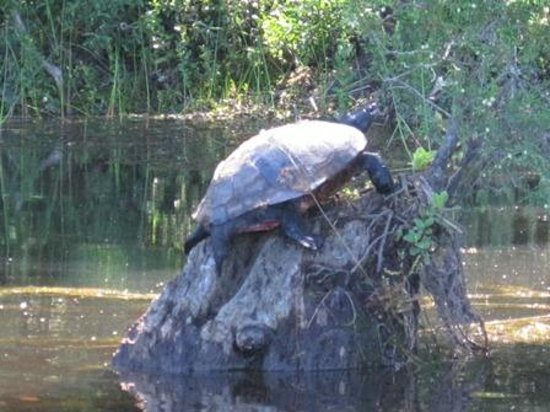 Batsto Village: Turtle sunning on a stump in the lake
