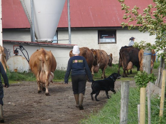 Geirakot : Cows return to the barn for milking