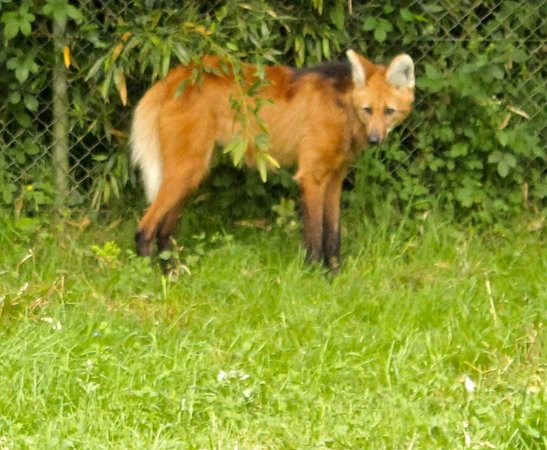 Zoo d'asson : Maned wolf