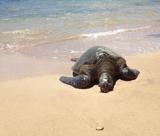 Nohonani Condos: Turtle on the beach