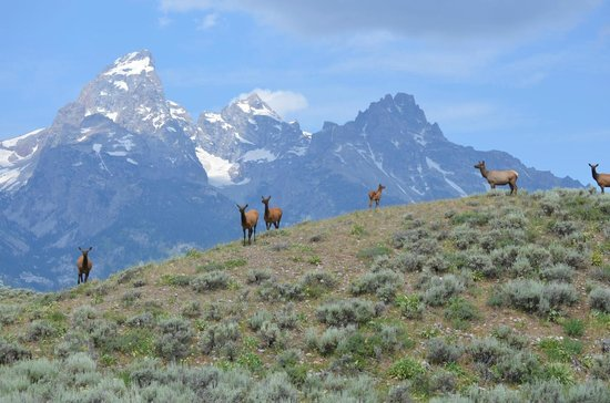 R Lazy S Ranch: Shot I took of elk below the Tetons