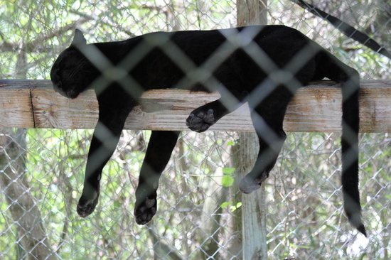Octagon Wildlife Sanctuary And Rehabilitation Center: Black Panther relaxing