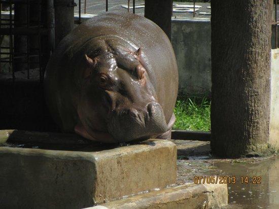Santa Cruz de Yojoa, Honduras: Hippo drinking - man, he's BIG! Joya Grande Zoo