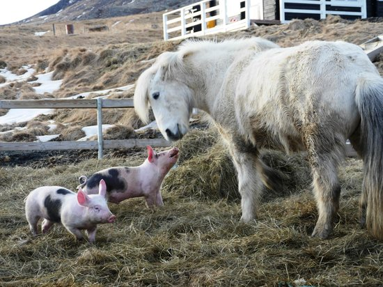 Hraunsnef Country Hotel: Piglets and horse