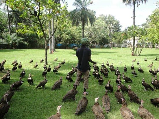Senegambia Beach Hotel: morgendliche Geierfütterung mit vorheriger Info