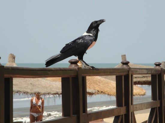"Senegambia Beach Hotel: Beachrestaurant-Zaun zum Strand mit ""Mitesser"""
