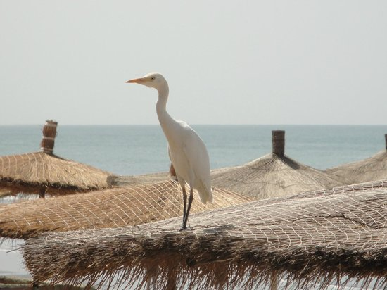 Senegambia Beach Hotel: die einen auf dem Sonnenschirm, die anderen darumter