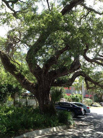 Cedar Key Bed and Breakfast: Old trees