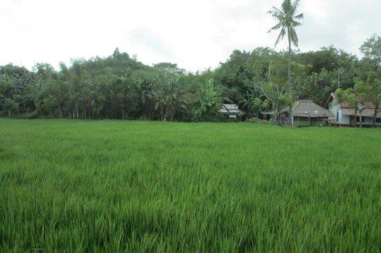 Cocotinos Sekotong, Boutique Beach Resort & Spa: Paddy field on way to BayunMulek