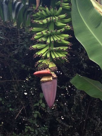 Rivertrees Country Inn: banana plant