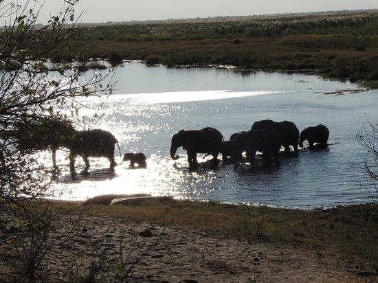 Linyanti Bush Camp: Elefantes cruzando el río