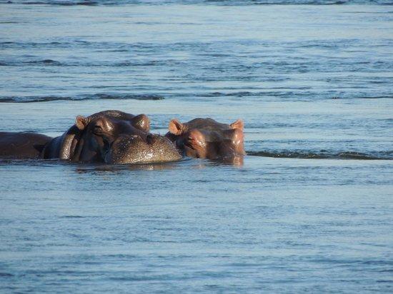 Islands of Siankaba: Hipopótamos