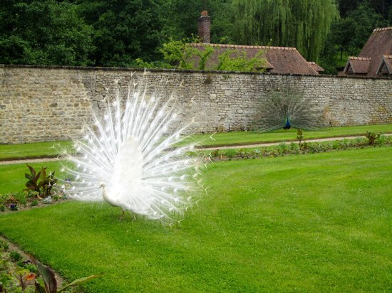 White peacock at Château de Saint-Germain-de-Livet