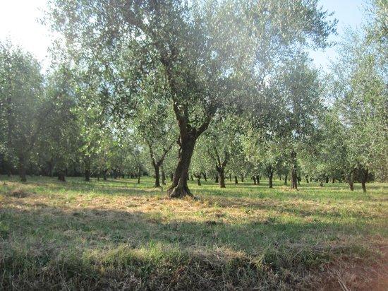 Locanda Il Fornello : Gli ulivi