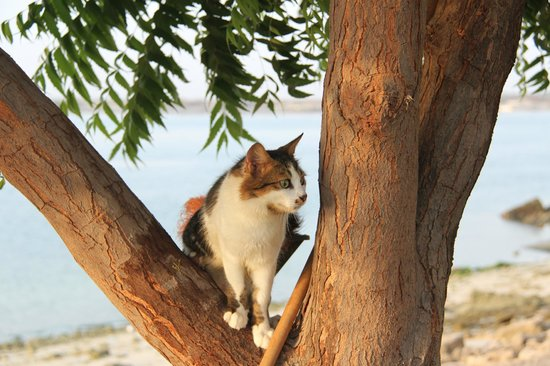 Flamingo Beach Resort by Bin Majid Hotels & Resorts: One of the many cats