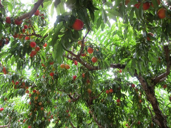Chiles Peach Orchard: Look at all the peaches in the tree