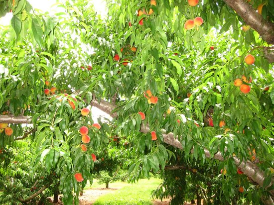 Chiles Peach Orchard: More peaches