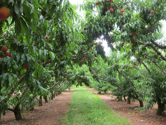 Chiles Peach Orchard: Beautiful