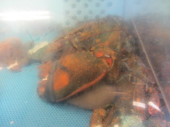 Northumberland Fisheries Museum: a 15 pound lobster just brought in by a local lobsterman.
