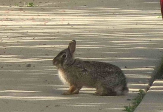 Howard Johnson Inn and Suites Elk Grove Village O'Hare: Friendly Bunny on sidewalk