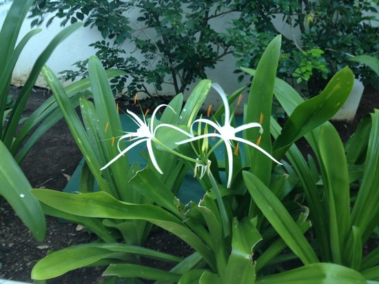 Zoetry Agua Punta Cana: Spider lilies!