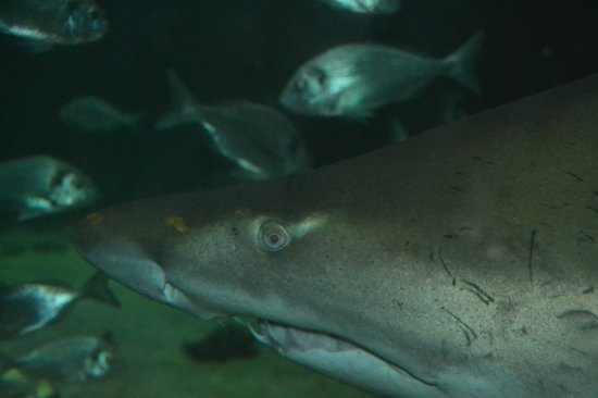 Dingle Oceanworld: All Whining Reviewers Are Fed To The Sharks:) Can You Imagine The Food Bill For One Of These?