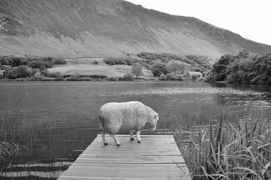 The Old Rectory on the Lake: the resident sheep
