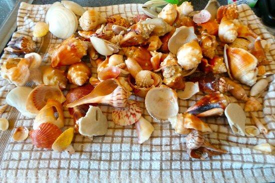 South Seas Island Resort: shells found on Captiva Beach