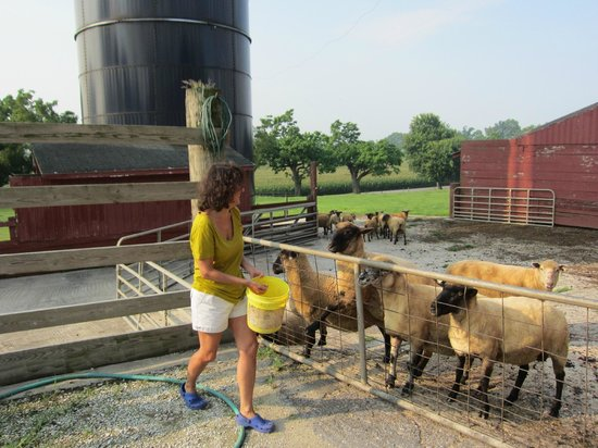 Country Log House Farm Bed and Breakfast: Feeding the sheep.
