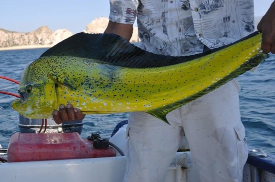 El Dorado Picture Of Sushi Time Sport Fishing Cabo San Lucas Tripadvisor