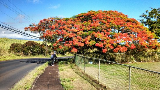 Paia, ฮาวาย: Really pretty tree somewhere around the 20 mile mark. Still downhill!