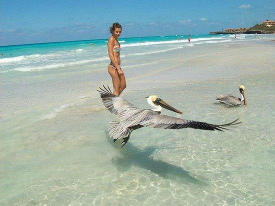 Pelicanos en plena playa.