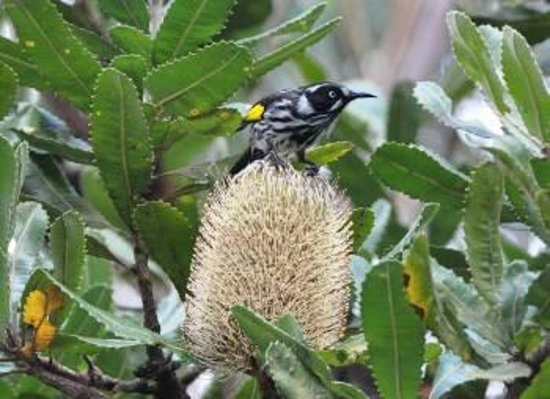 Kanimbla View - The Clifftop Retreat: New Holland Honey Eater