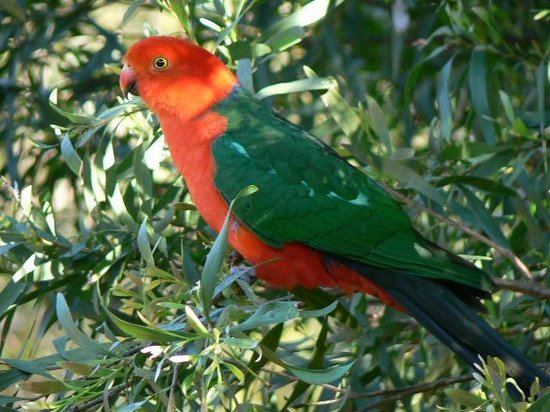 Kanimbla View - The Clifftop Retreat: King Parrot