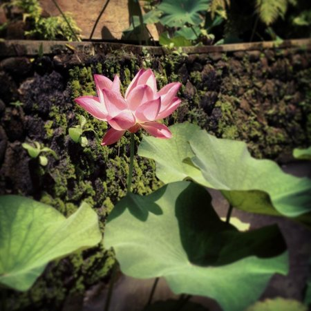 Soulshine Bali: So many lotus flowers in all the ponds!
