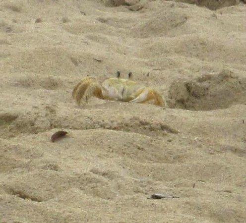 Grand Bahia Principe El Portillo: Sand crab