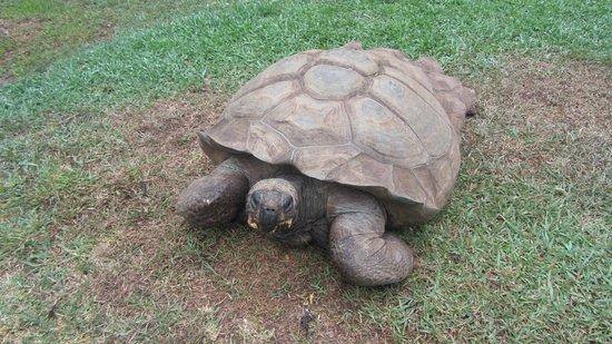 "Quinta Jardins do Lago: ""Colombo"", the Quinta`s giant tortoise"