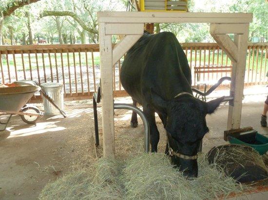 Green Meadows Petting Farm : The star cow!