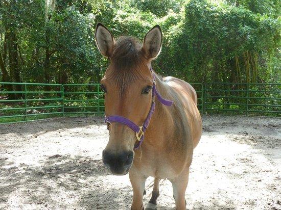 Green Meadows Petting Farm : Zorse (Zebra/horse)