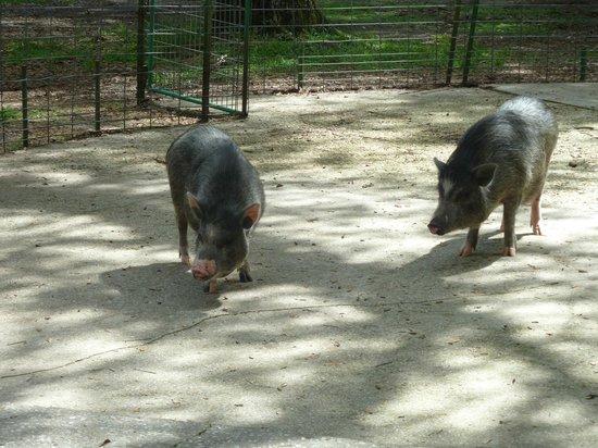 Green Meadows Petting Farm : potbelly pigs