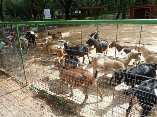 Green Meadows Petting Farm: Goats