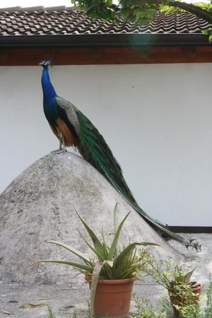 Park Hotel Elefante: Hotel Peacock!