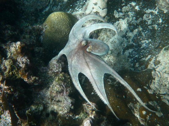 Anthony's Key Resort: octopus on a snorkel trip!