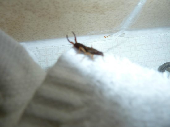 Knights Inn Boston/Danvers: bug that came out of face cloth!